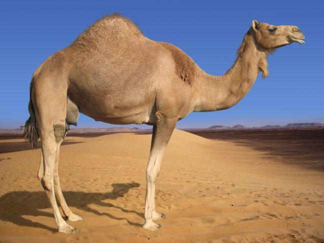 Descrizione: Descrizione: Descrizione: http://www.meteoghiffa.it/Clipart/Arabian-Camel.jpg